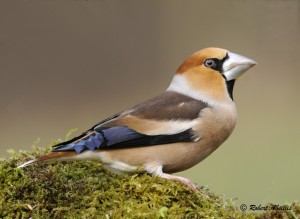 Chinese appelvink