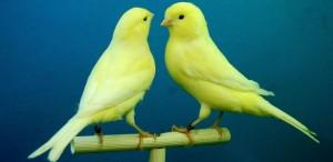 Kanarie geel