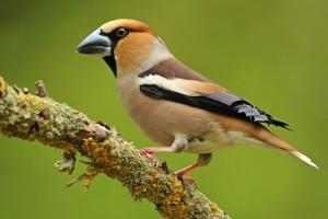 Kopen van vogels