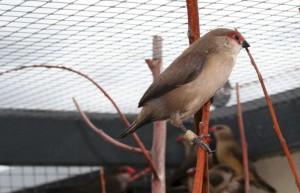 St. helena fazantje