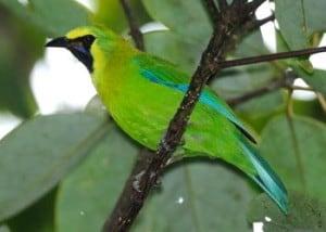 Blauwbaard bladvogel