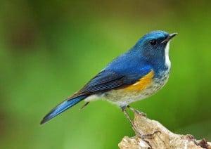 Blauwstaartje