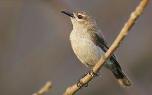Bruine honingvogel