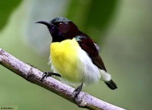 Ceylon honingvogel