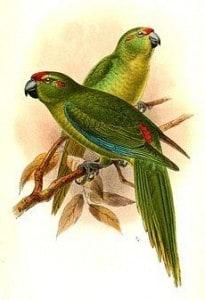 Cyanoramphus n. Subflavecens