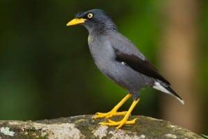Javaanse maina