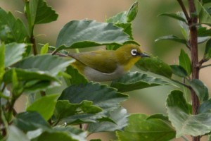 Madagaskar brilvogel