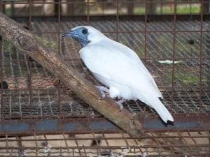 Naakthals klokvogel