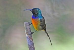Oranjebuik honingvogel