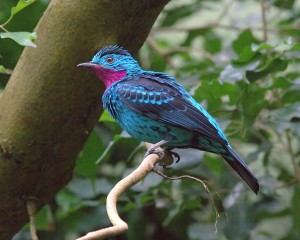 Purperkeel cotinga