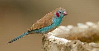 Blauwfazantje