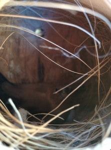 zilverbekje op nest