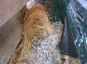 Japanse meeuwtjes vrij nest