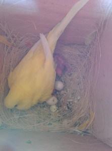 Grasparkiet op nest