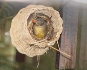 goudbuikje op nest
