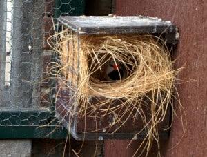 Spitstaartamadine op nest