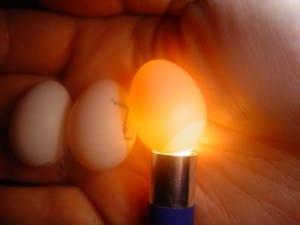 eieren schouwen