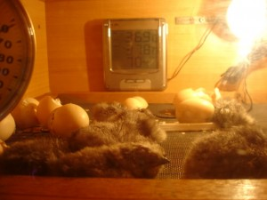 uitkomende kuikens in broedmachine