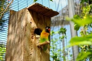 agapornis nigrigenis nest